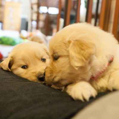 Golden Retriever Puppies Available In Houston Tx