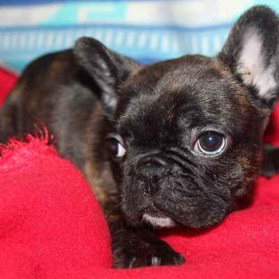 French Bulldog Puppies Available In Houston Tx