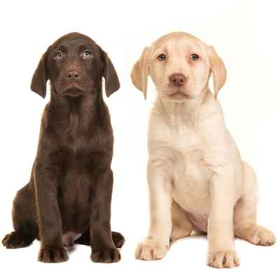 Labrador Retriever For Sale in Houston, Texas - Hoobly ...